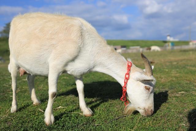 正しい雑草駆除方法:その5【ヤギを飼う】